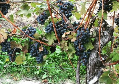 Grape Vines, Niagara